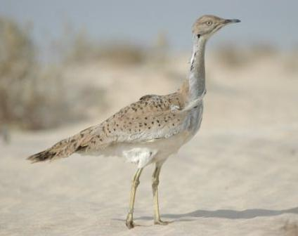Outarde houbara - photo (ecolomagtunisie.com)