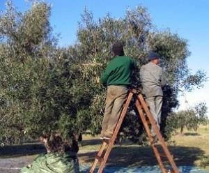 Bonne nouvelle : Récolte record d'olives à Monastir Campagne-de-cueillette-des-olives-photo-vacanceo.com_-300x248