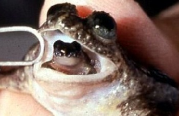 grenouille-ressuscitée-photo-huffingtonpost.fr_