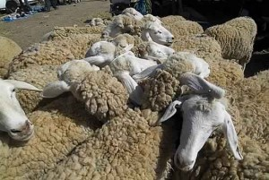 Aid moutons