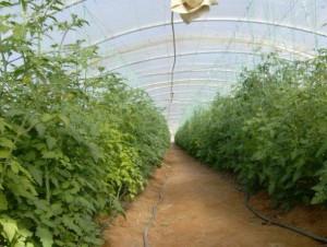 Tomates El Hamma